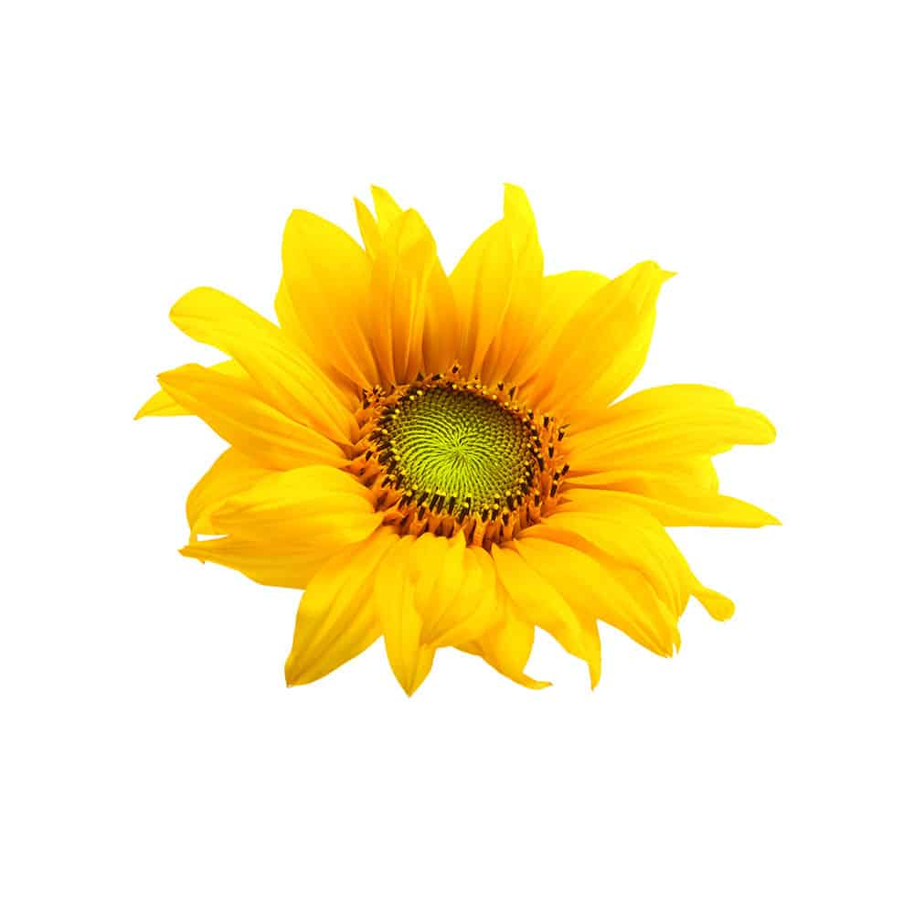 Sonnenblume für die lipure Handcreme