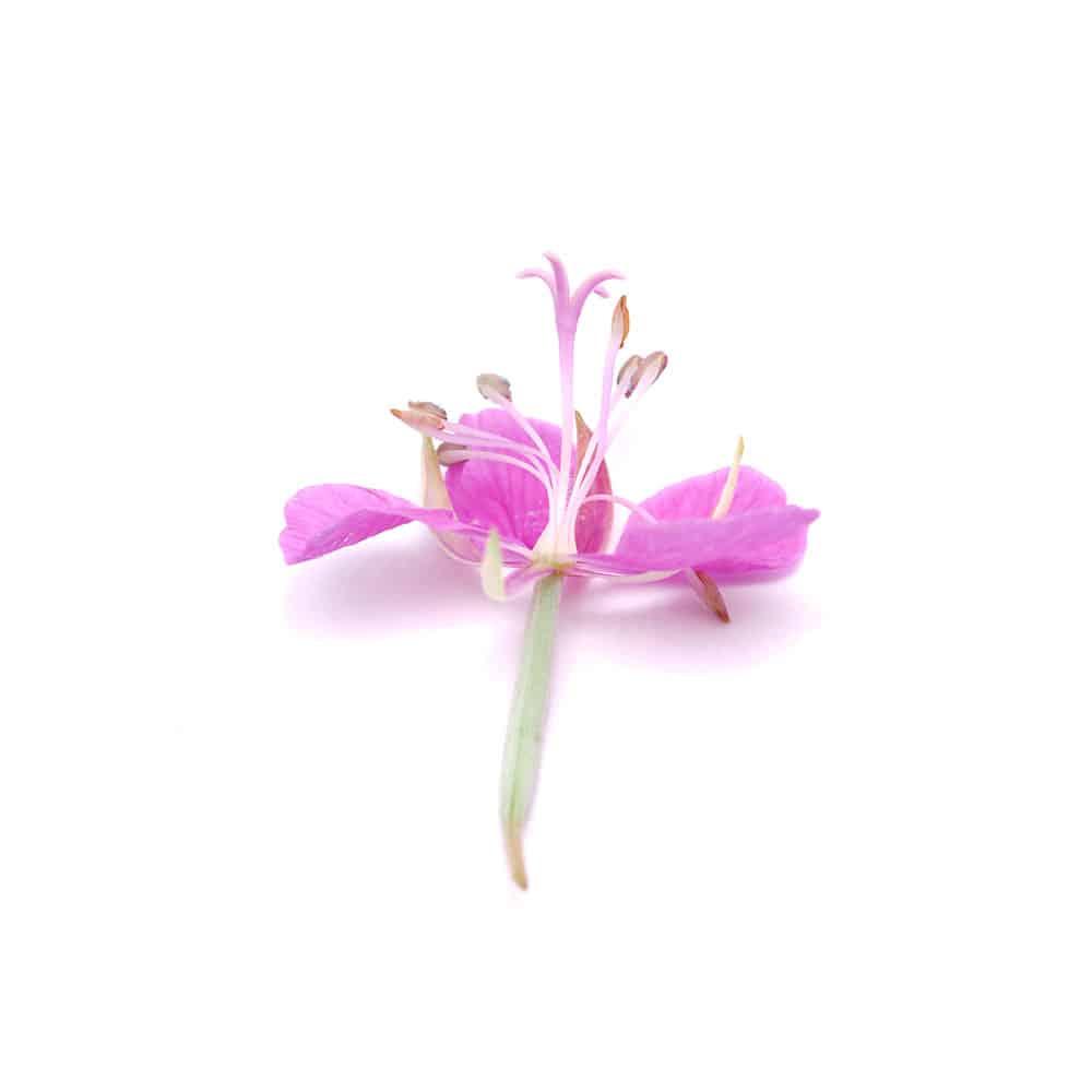 Weidenröschen lipure Inhaltsstoffe
