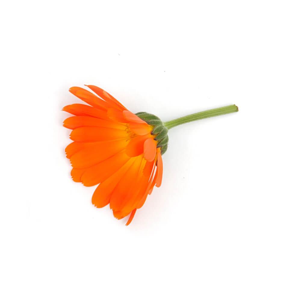 Ringelblume für die lipure Handcreme